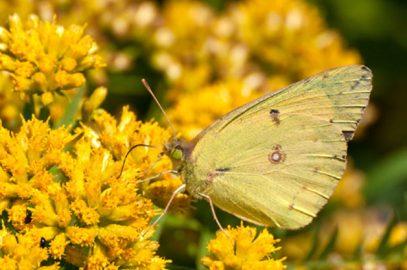 Butterflies of MA on 7/16/20 via Zoom